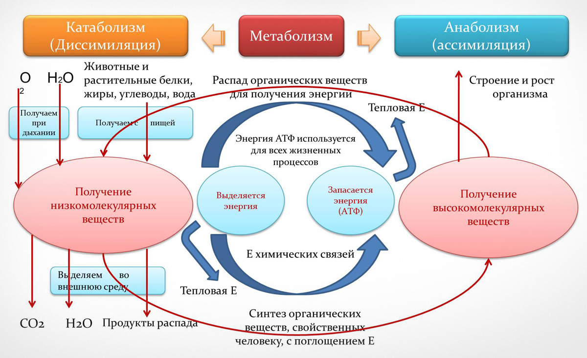kak-normalizovat-obmen-veshhestv-v-organizme1
